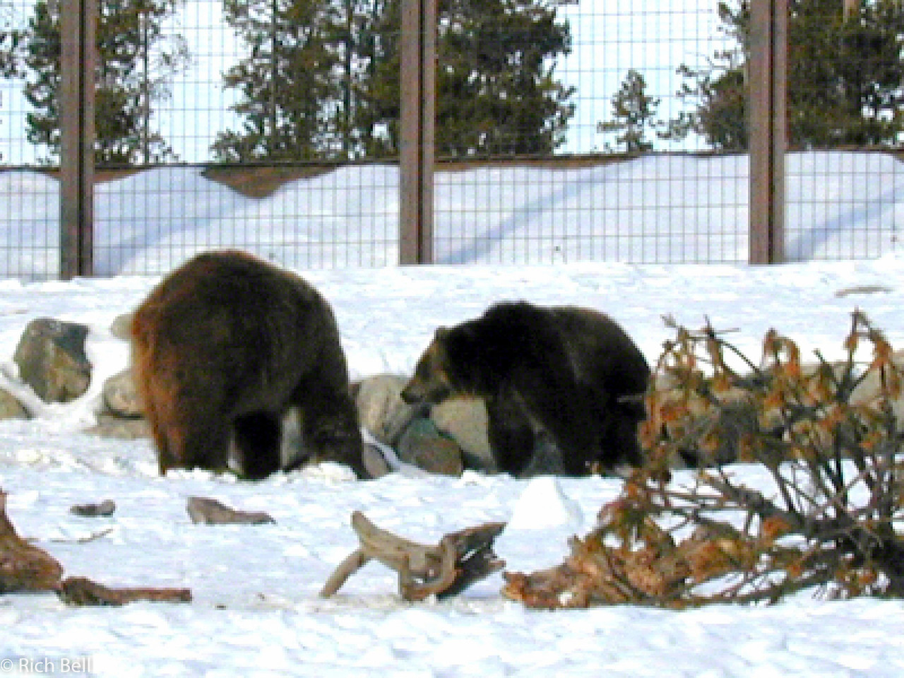 20100721Bear in West Yellowstone Montana 0005