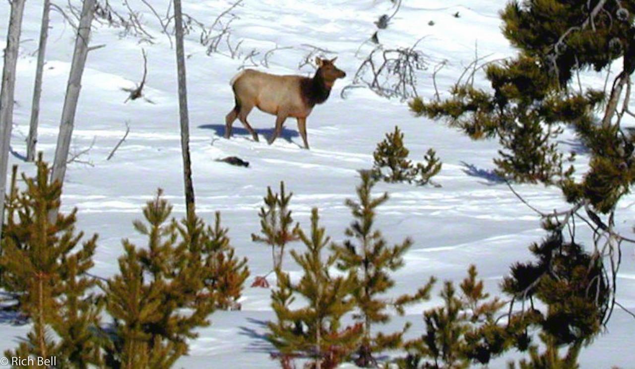 20100721Elk in Yellowstone 30035