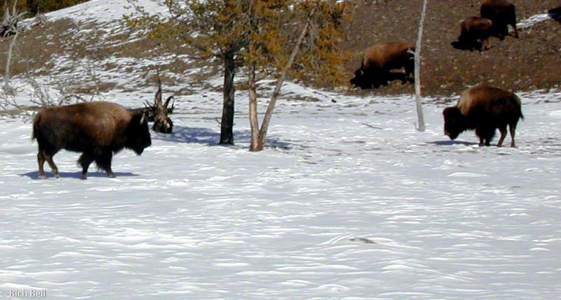 20100721Buffalo grasing in Meadow in Yellowstone 0020