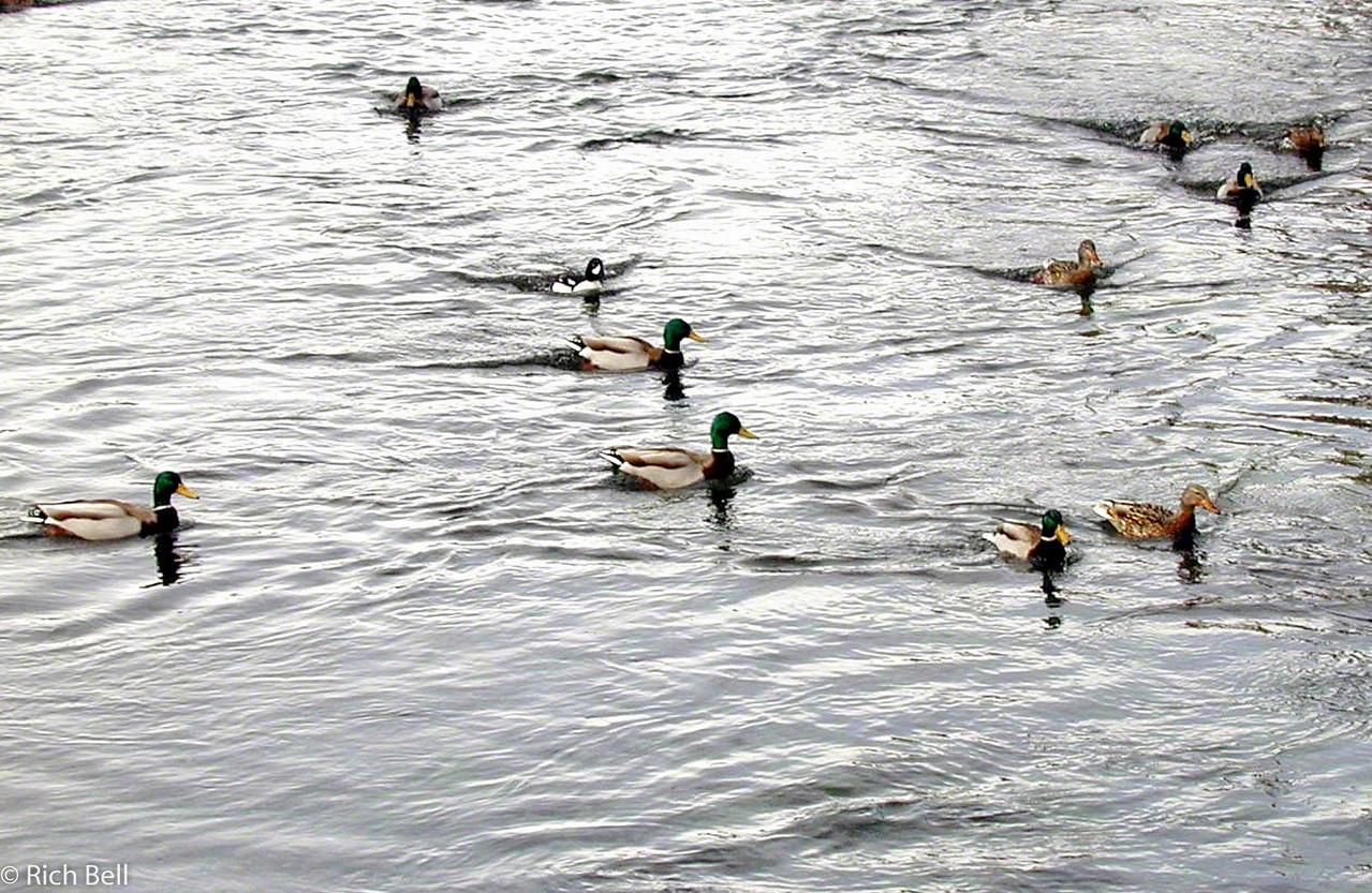 20100721Ducks in River near Yellowstone 20030