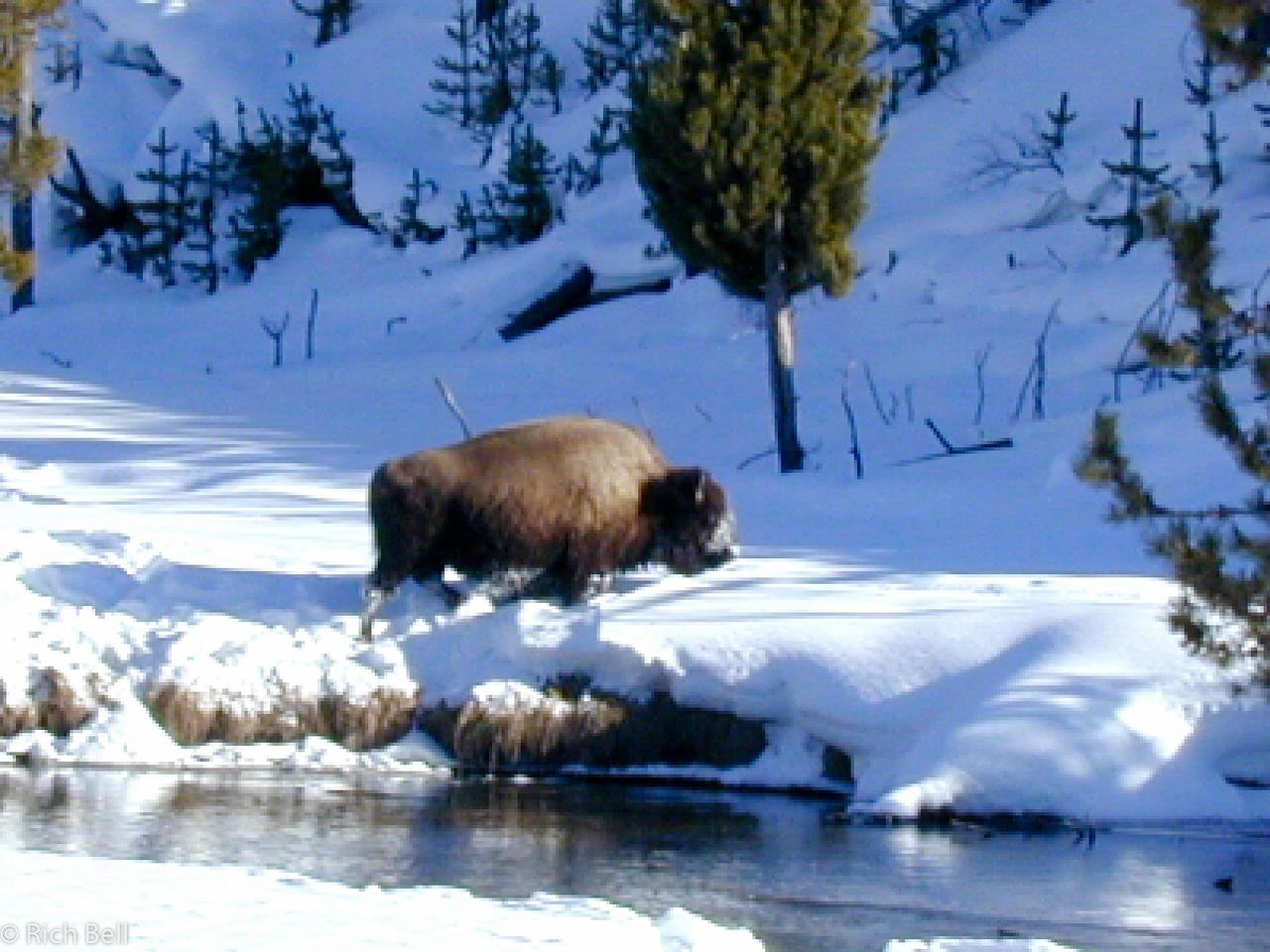 20100721Buffalo grasing in Snow in Yellowstone0022