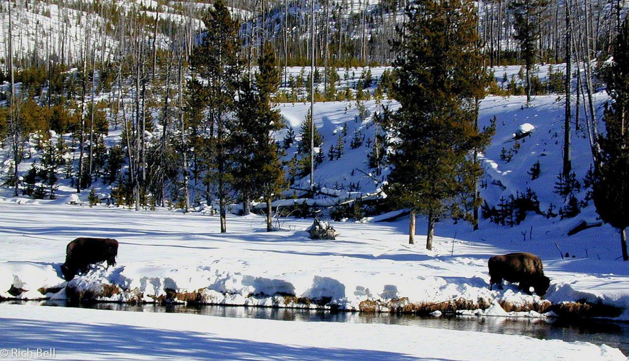 20100721Buffalo grasing in Meadow in Yellowstone 0021