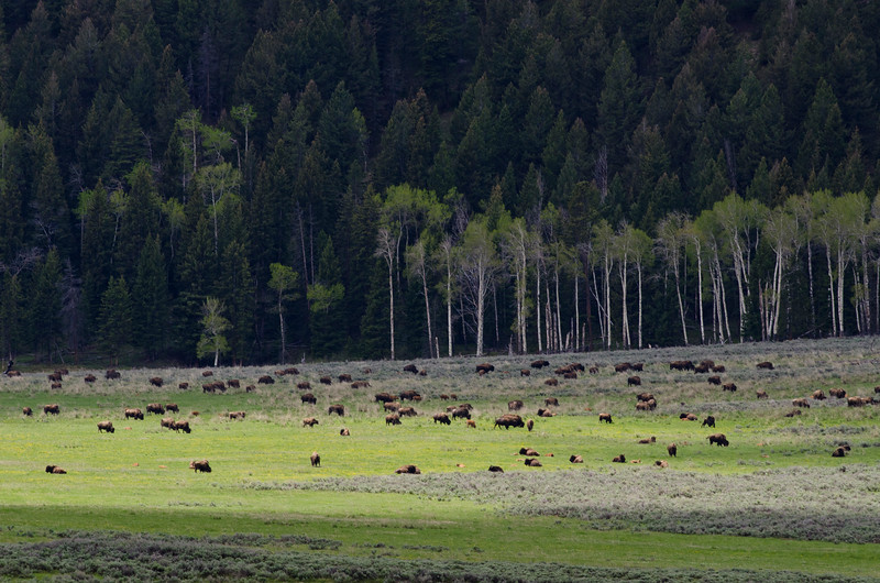 Lamar Valley is home to huge herds of Bison.