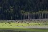 Lamar Valley is home to huge herds of Bison.