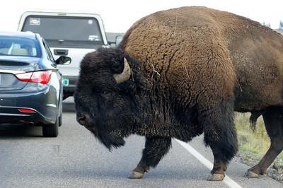 Bison jam in Lamar Valley