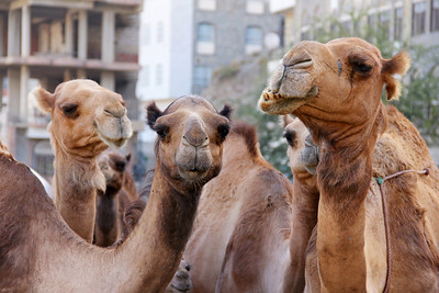 camels in taiz city