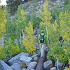 quaking aspens turning color