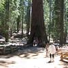 Massive Redwood