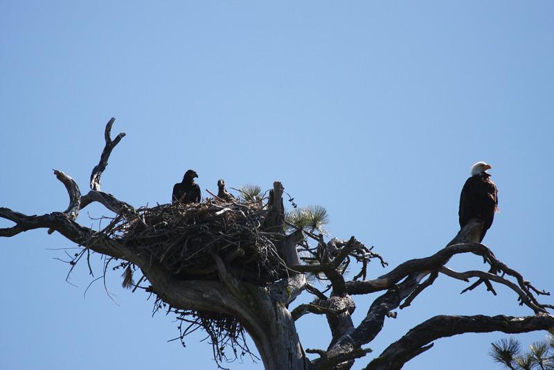 Eaglets 6-19-08