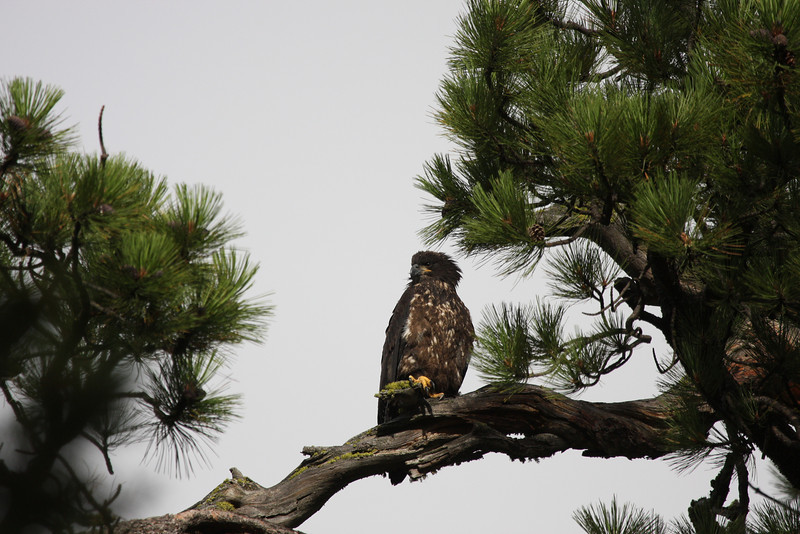 Young Eaglet - 8-28-08