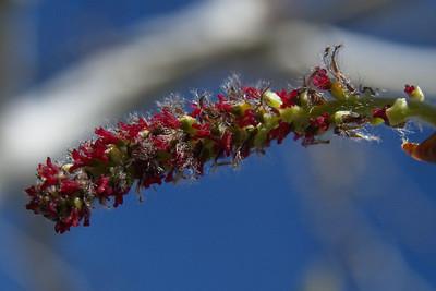 Aspen Tree Leaf Buds