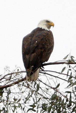 Yucaipa Bald Eagle