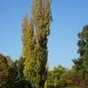 Poplar trees in Glebe Park in Civic, Canberra in May 2016