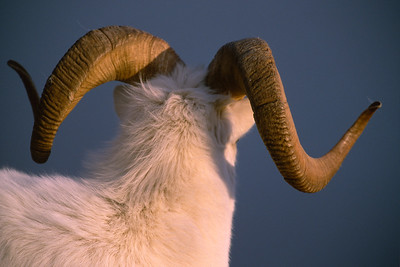 A dall sheep Ram with a big rack on Kluane Mountain, in Kluane National Park, Yukon, Canada.