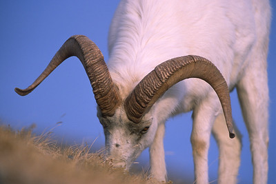 A dall sheep ram eating grass on Sheep Mountain in Kluane Park. The massive horns of the ram are almost touching the ground.