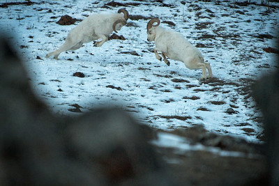 Every winter dall sheep rams fight for the right to breed with ewes.   Part of an ongoing story on the winter wildlife found in Kluane National Park in Yukon, Canada. Focus is on the congregation of salmon, grizzly bears, eagles and sheep in winter.