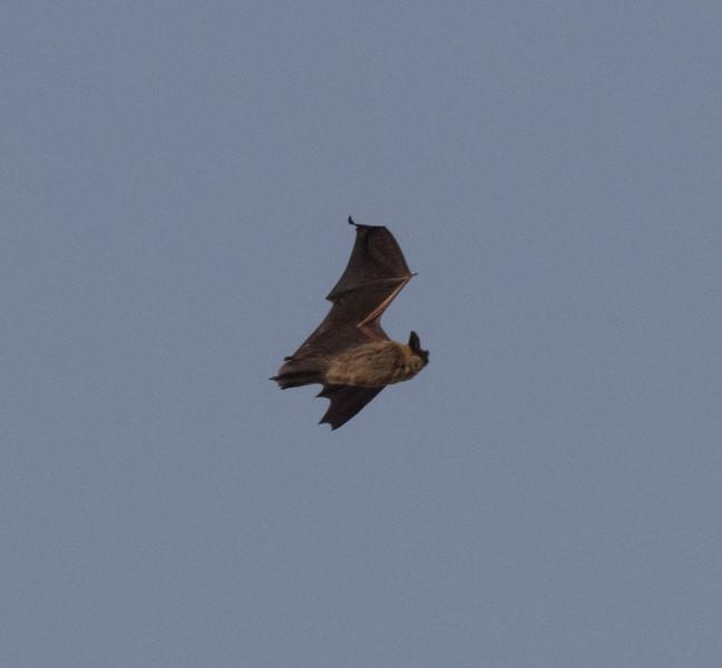 Yuma Bat Harper Dry Lake 2018 08 08-1.CR2
