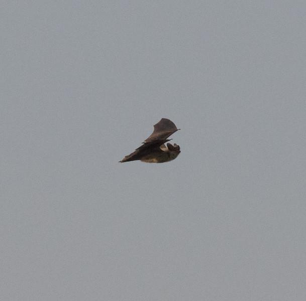 Yuma Bat Harper Dry Lake 2018 08 08-2.CR2