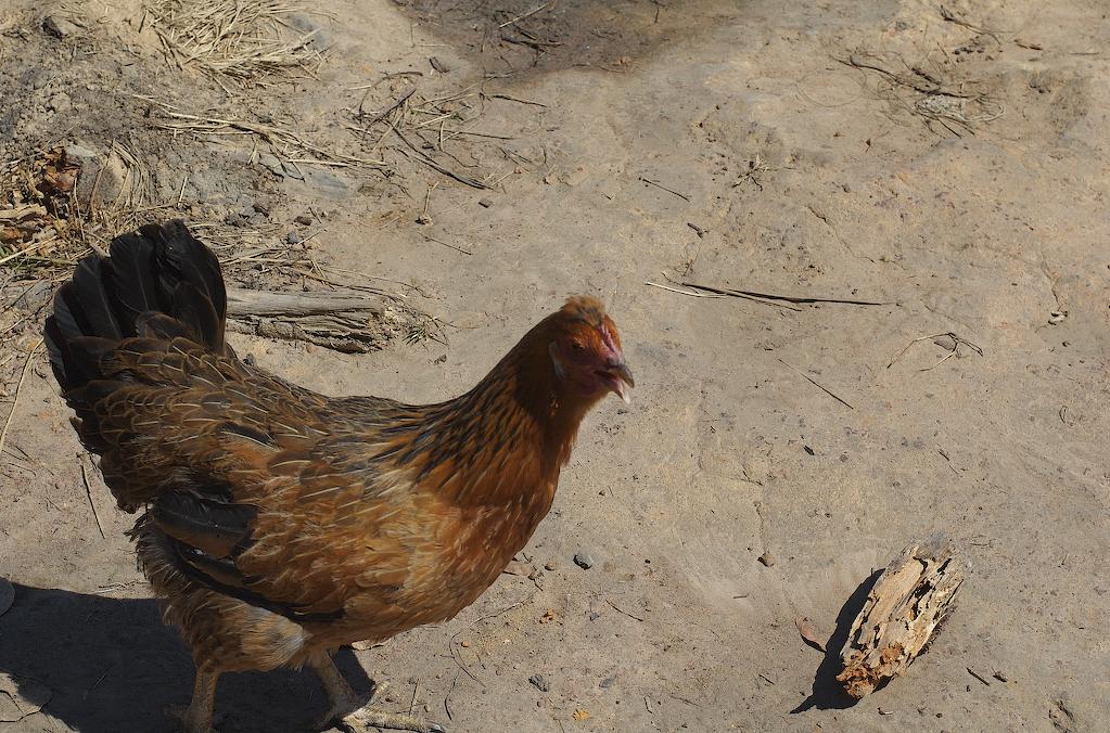Village Chicken