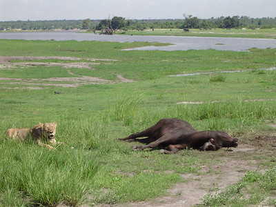 Safari in Botswana - rare sighting of a female lion watching over the Cape Buffalo kill.