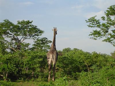 Safari in Botswana - we happened across this giraffe walking across the road on our  way across the border back to Zambia.