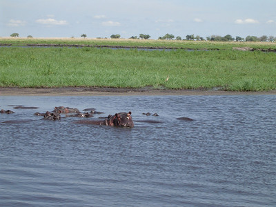 Safari in neighboring Botswana - I just missed this hippo yawning - a dentist's nightmare no doubt