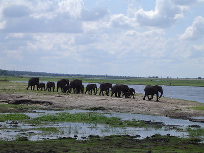 Safari in Botswana - Elephant herds are headed by the female.  Teenage male elephants are typically at the back and eventually are kicked out of the herd to start their own families - I wonder if that would work with humans.