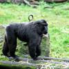 Wind up Macaque?
