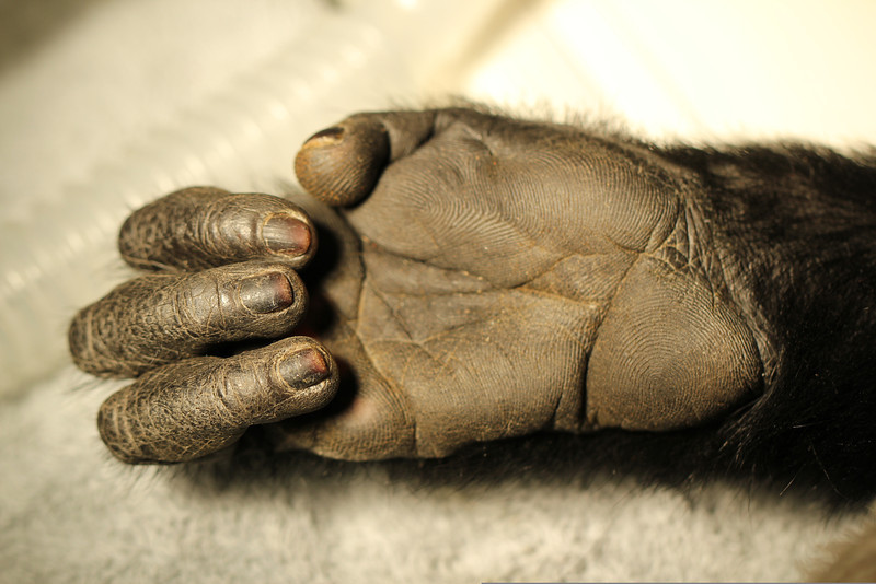 Very human in appearance, Congo, a Black Mangabey monkey, has only 4 digits