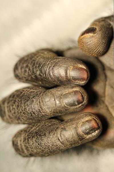 Macro lens shot of fingers.  Congo, a Black Mangabey monkey, has only 4 digits.