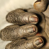 Macro lens shot of fingers.  Congo, a Black Mangabey monkey, has only 4 digits.