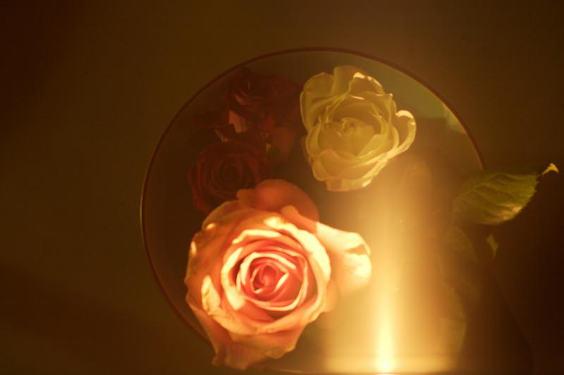a rose a cat 1