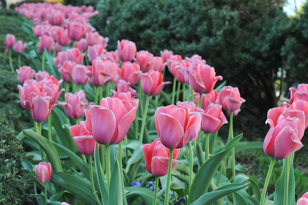 april8_tulips