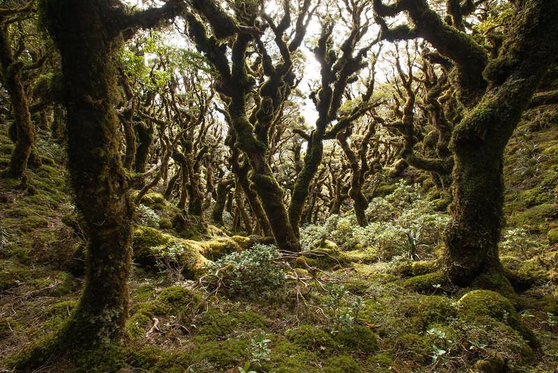 Beech forest and leatherwood, Tararua Range.