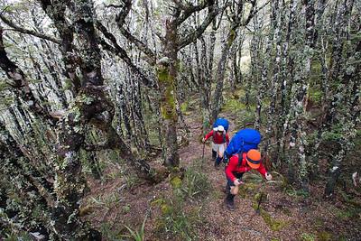 Beech forest between Kakapo Peak and Waingaro Peak.