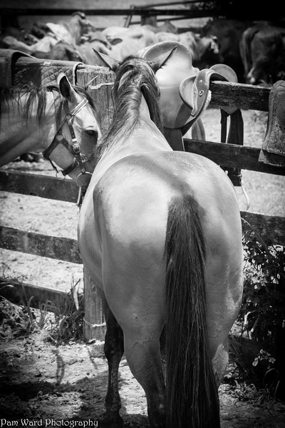 Working Australian Stock Horse