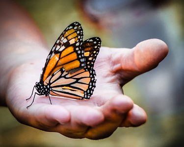 Monarch Butterfly on Child's Hand
