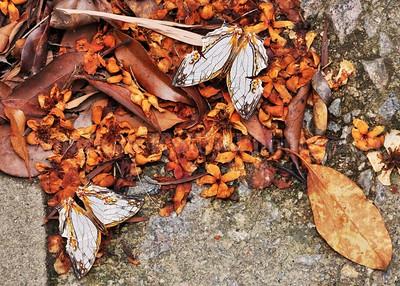 Map-wing Butterflies (Cyrestis thyodamas)