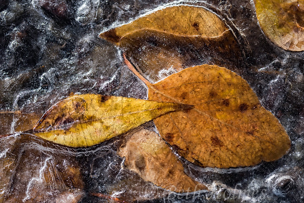Leaves in Ice #2
