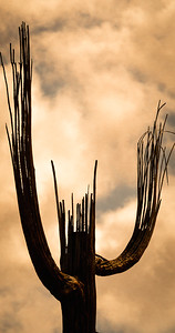 Skeletal Saguaro