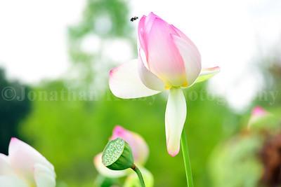Bumblebee & the Lotus