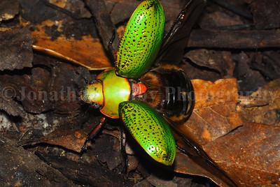 Jewel scarab beetle  (Chrysina spectabilis)
