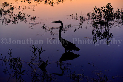 Great Blue Heron at Sunset, Huntley Meadows.