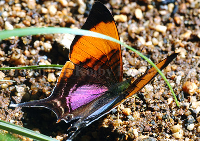 Daggerwing Swallowtail Butterfly (Mapesia Marcella)