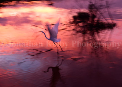 Great Egret Take-off at Sunset