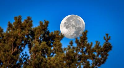 Moon Caught in Pine Tree