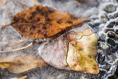 Leaves in Ice #3