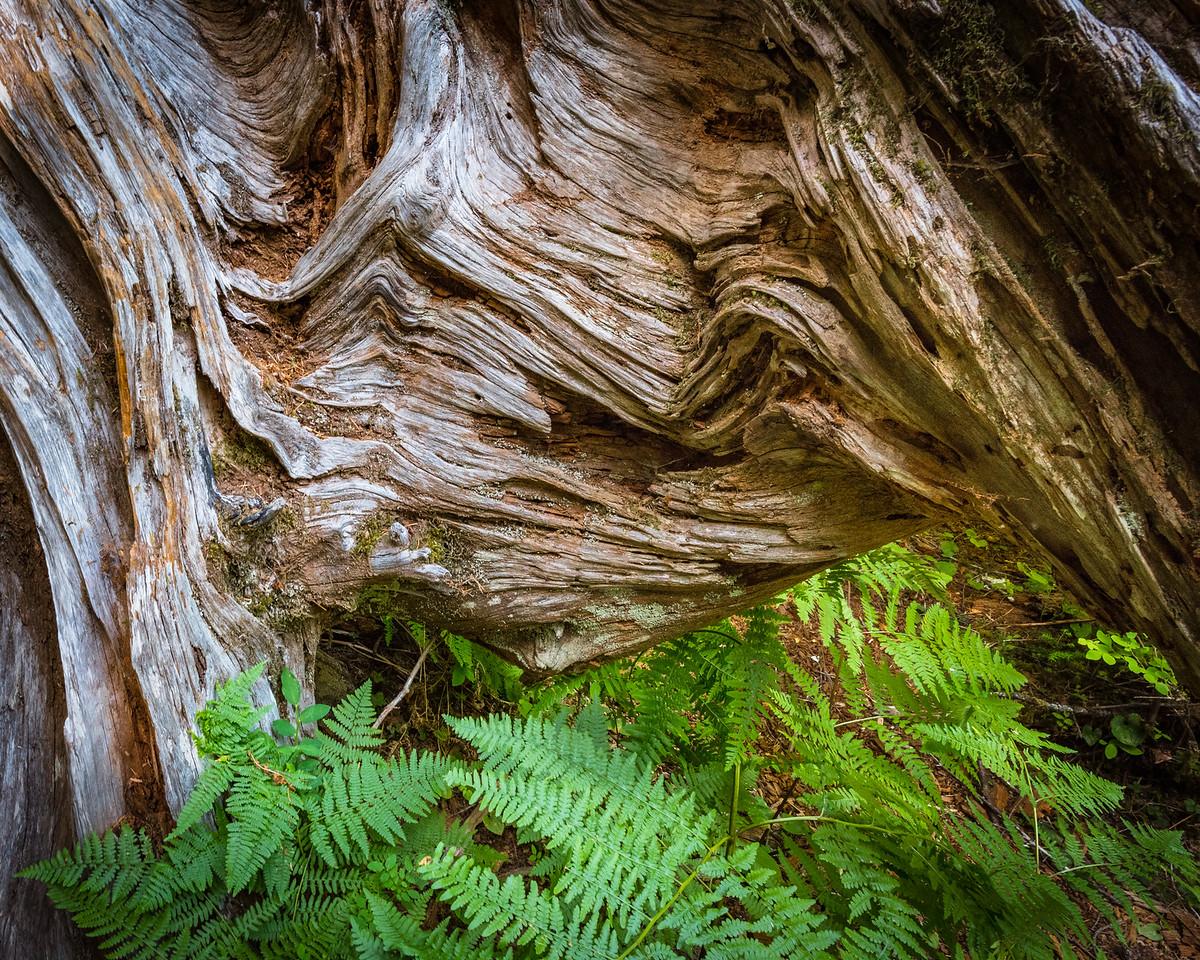 Ferns and Redwood Stump