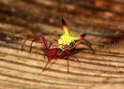 Pikachu Spiker! Arrow-shaped Micrathena (Micrathena sagittata)