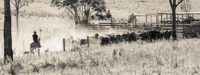 "Yarding up ""Rosehill"" Queensland"